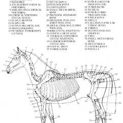 Horse Skull Diagram 1994 Chevy 4l60e Wiring Worksheet Anatomy Fun