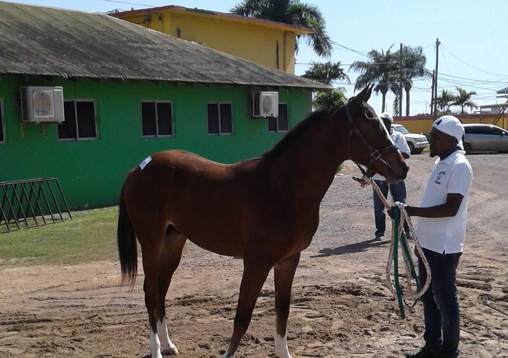 A yearling preparing to enter today's Yearling Sale.