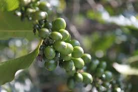 קפה ירוק