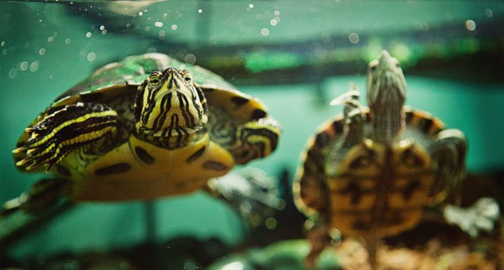 Aquatic-Turtles-Care-1