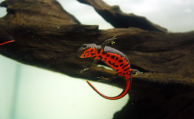 Fire-Bellied-Newts-2