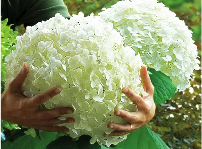 Hydrangea arborescens 'Incrediball' has large flower heads and stands up better than 'Annabelle'