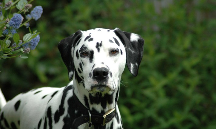 Is A Dalmatian Right Dog For You 2