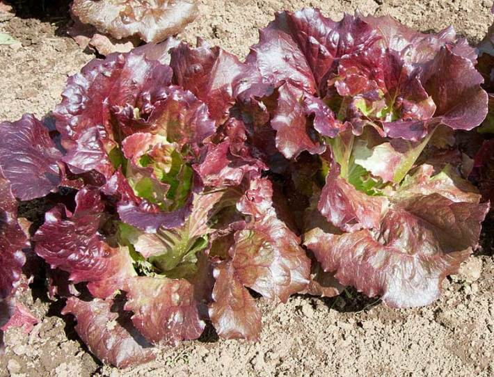 Lettuce How to Grow