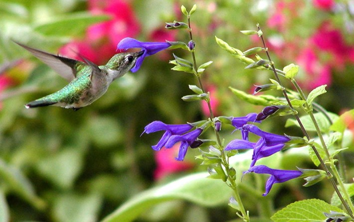 Spice-up-your-Garden---Purple-Majesty'-sage