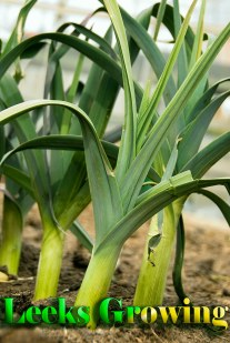 How to Grow Leeks - Gardening Tips