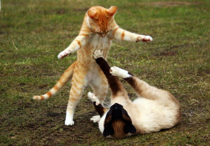 Are Your Cats Playing Or Fighting