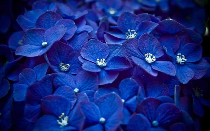 Blue Hydrangea ( Hortensia )