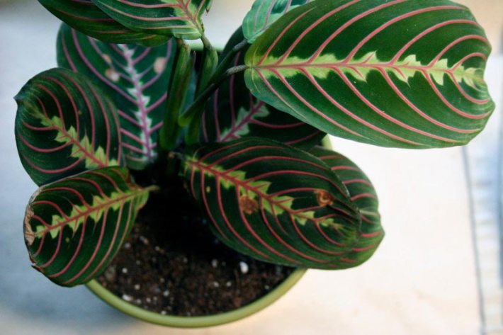 Growing Maranta Inside