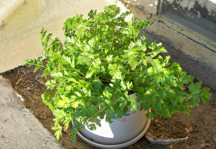 Parsley - How To Grow