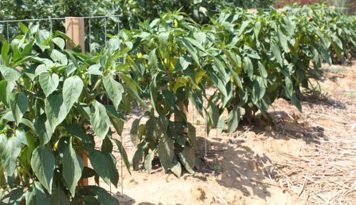 Pepper Growing Tips