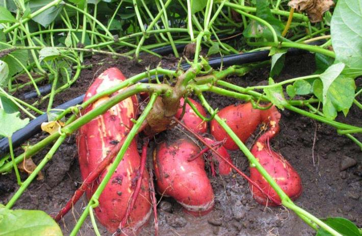 Sweet Potato How To Grow