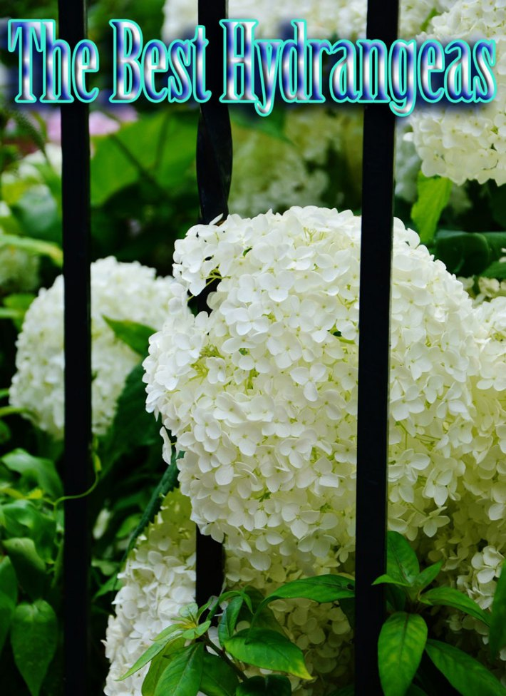 The Best Hydrangeas (Hortensia)