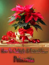 How To Multiply & Extend Your Poinsettia