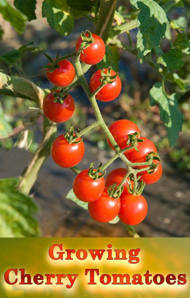 Cherry Tomatoes - Growing Guide - Quiet Corner
