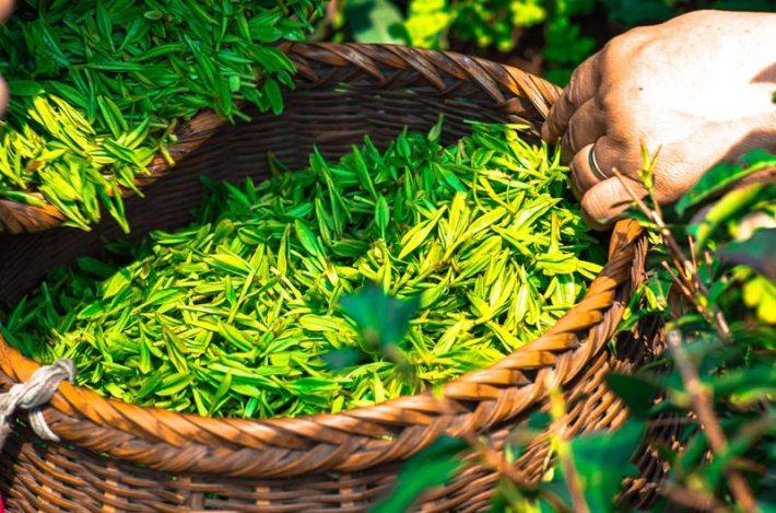 An Introduction to Versatile World of Tea