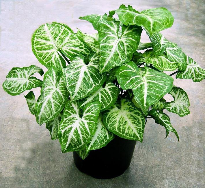 Growing Arrowhead Plants