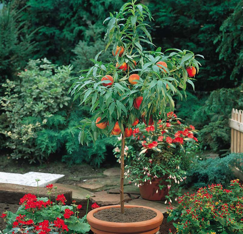 How to Grow Peaches and Nectarines in a Pot - Quiet Corner