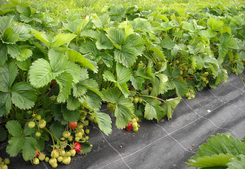 how to grow strawbwrries from seed
