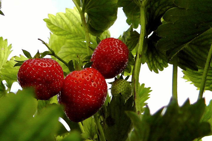 How to Grow Strawberries - Quiet Corner