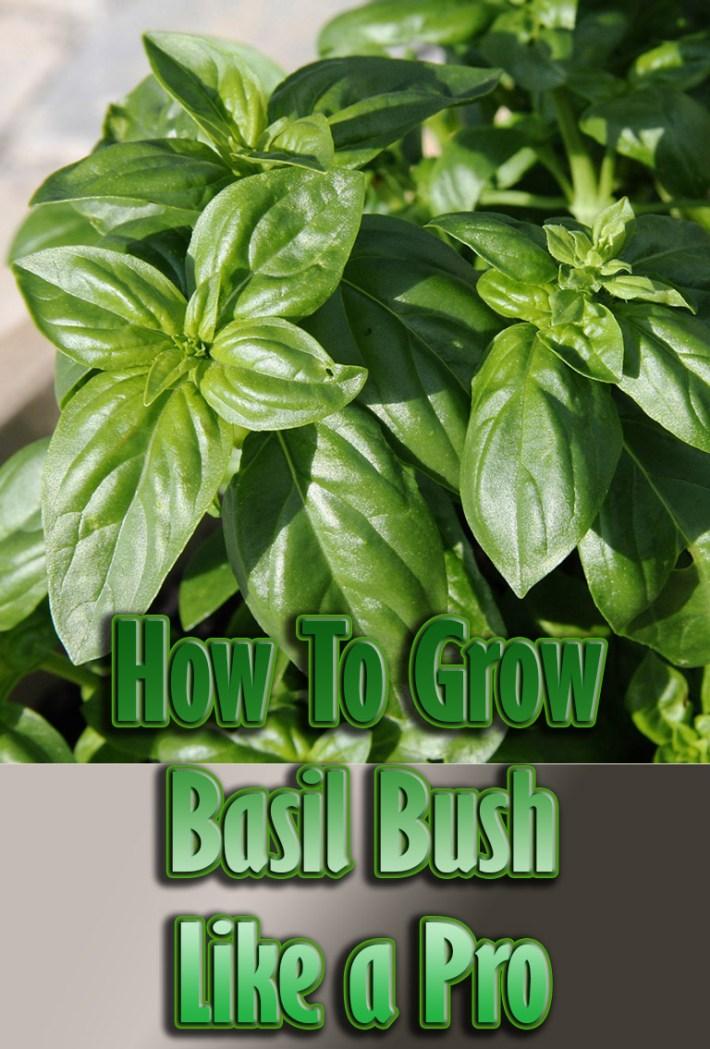 quiet corner how to grow basil bush like a pro quiet corner. Black Bedroom Furniture Sets. Home Design Ideas