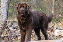 Newfoundland Dogs - Breed Info
