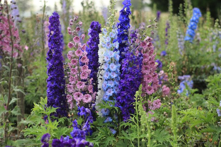 Beautiful Delphiniums - How to Grow