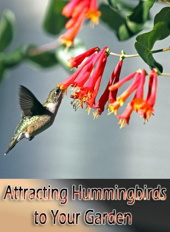 Attracting Hummingbirds to Your Garden