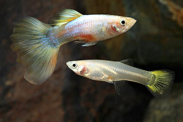 Guppy - Millions Fish