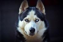 Siberian Husky - Breed Information