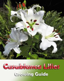 Casablanca Lilies - Growing Guide