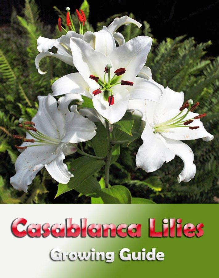 Casablanca Lilies – Growing Guide