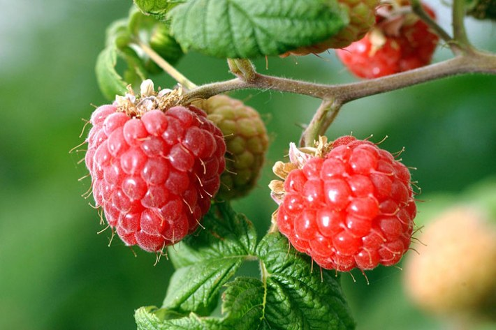 How To - Pruning Red Raspberries