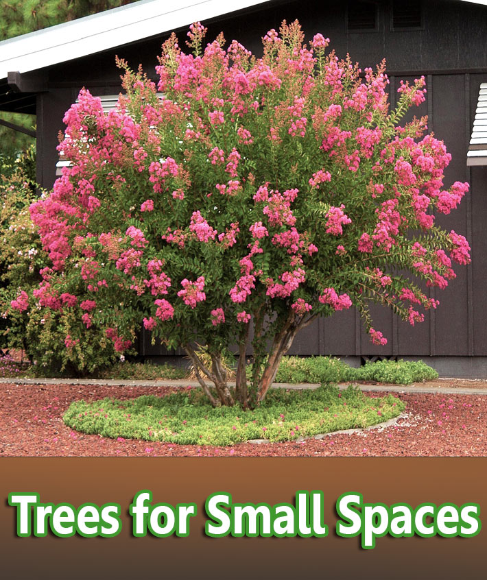 Trees for Small Spaces - Quiet Corner