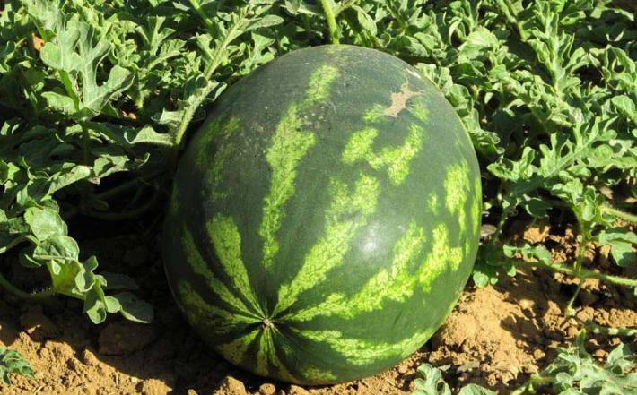 Watermelon - Health Benefits