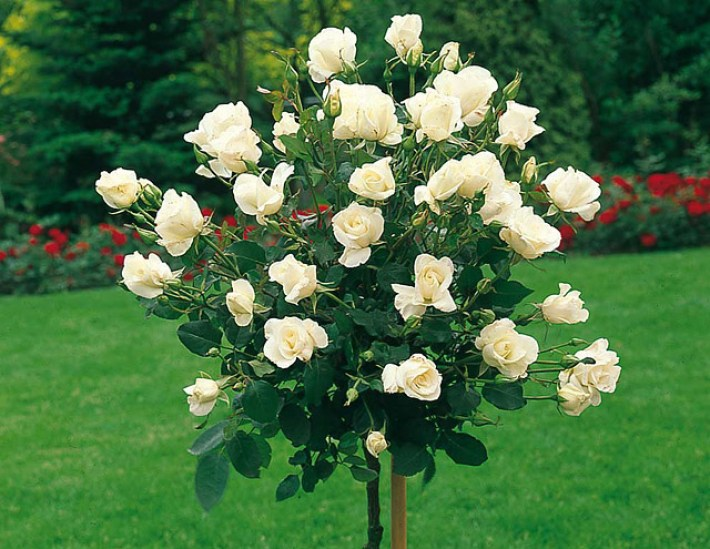 Which Types of Roses Are Right for Your Garden?