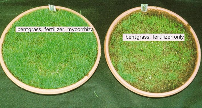 Care For Bentgrass Planted From Seed