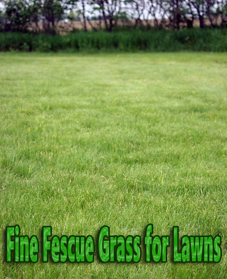 Quiet CornerFine Fescue Grass For Lawns Quiet Corner