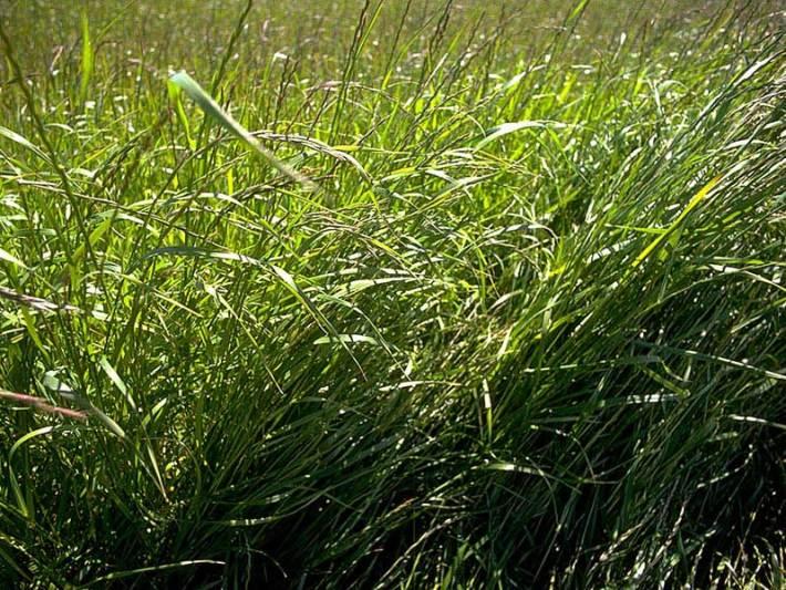 Quiet Corner Perennial Ryegrass Quiet Corner