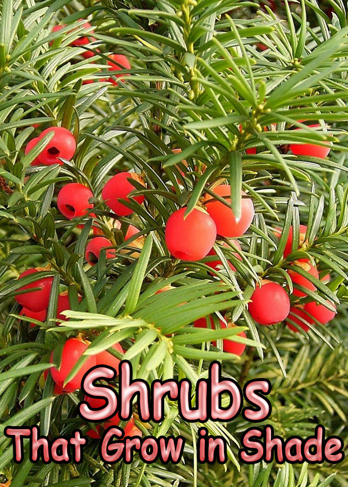 Shrubs That Grow in Shade - Quiet Corner