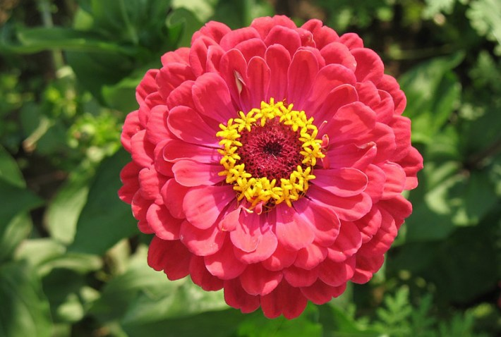 Zinnia - How to Plant, Grow and Care