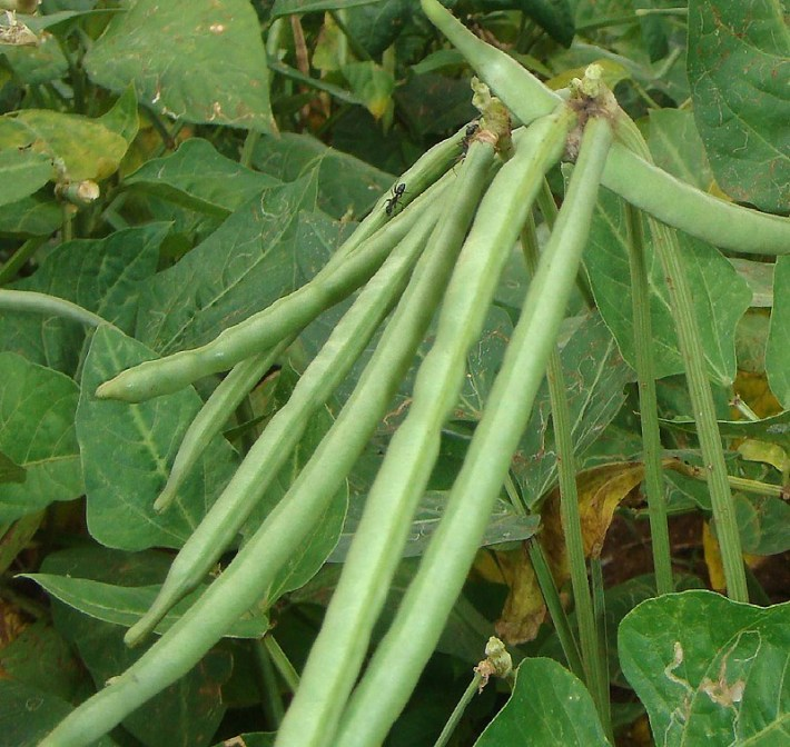 How to Grow Cowpeas, Black Eyed Peas
