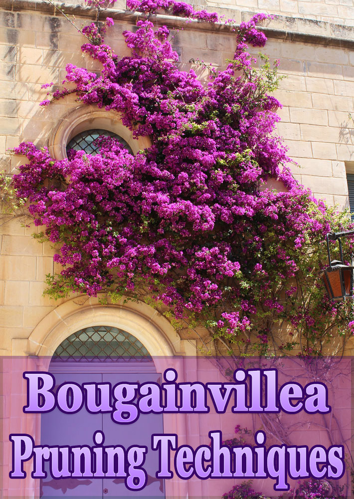 Bougainvillea Trellis Ideas Part - 41: Bougainvillea Pruning Techniques