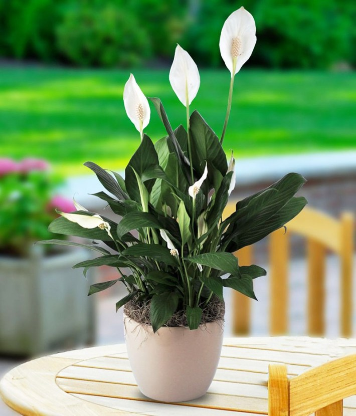 Easy Houseplants – How to Care for Peace Lily