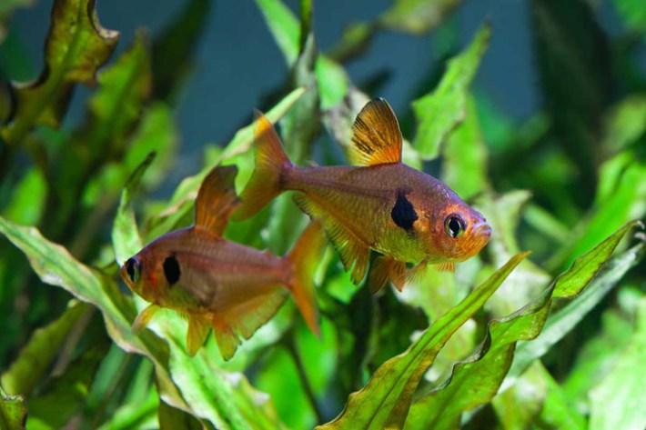 Tetra Fish Info: 5 Most Popular Tetra Fish Types