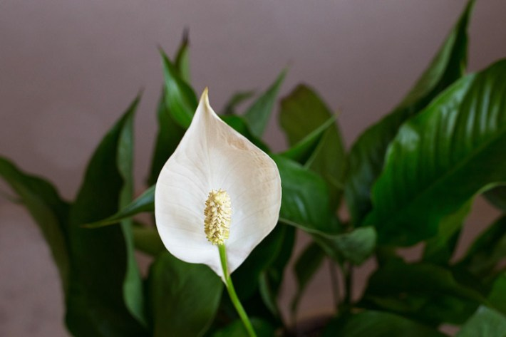 Easy Houseplants - How to Care for Peace Lily
