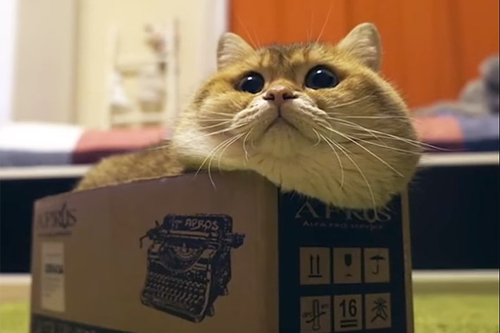 Funny Cat Video – Cat Determined to Fit Inside Box