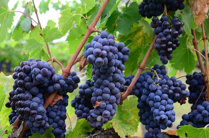 Grapes Health Benefits