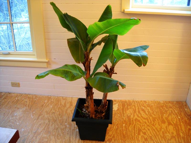 Quiet Corner:How To Grow Banana Trees In Pots - Quiet Corner
