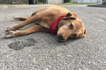 How To Help A Dog Hurt In A Traffic Accident